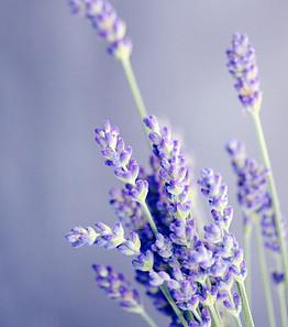 lavender medicinal plant