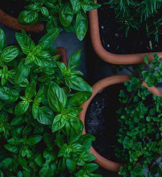 oregano medicinal plant